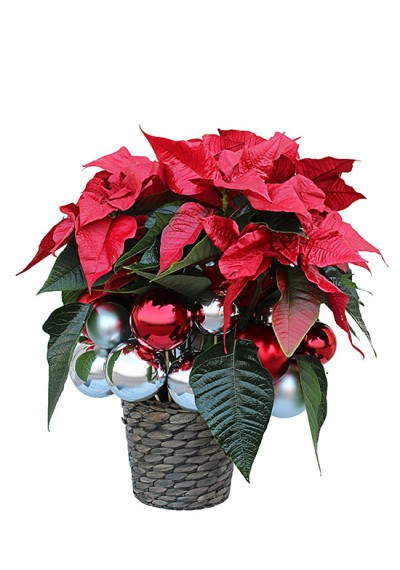 Poinsettia Christmas Flower